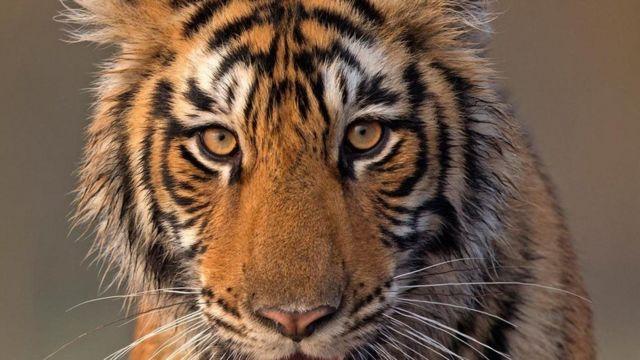 النمور في بنغلاديش