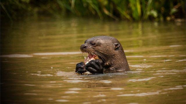 Ariranha come peixe