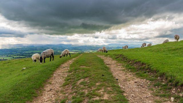 Овцы в Вестморланде