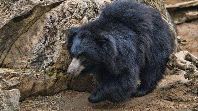 bear,වලසා
