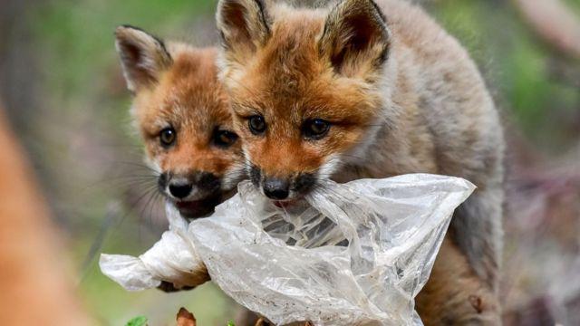 Rusya'da plastik poşet yiyen tilkiler