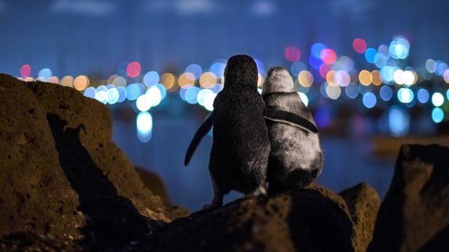 طائرا البطريق يتعانقان