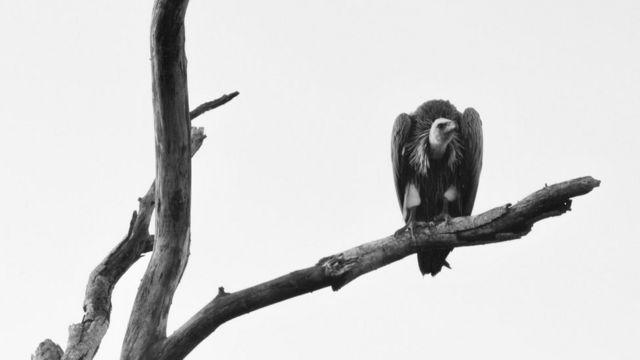 Buitre en una rama