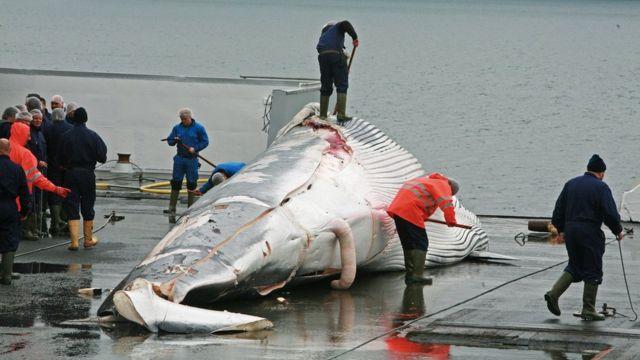 アイスランドも日本と同様に捕鯨を実施している(写真は2013年にアイスランドの捕鯨船がナガスクジラを引き上げた様子)