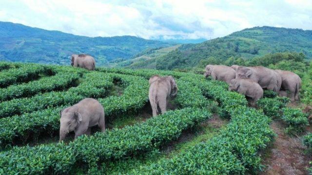 گله فیل مهاجر در استان یوننان چین، در مسیر سفرشان