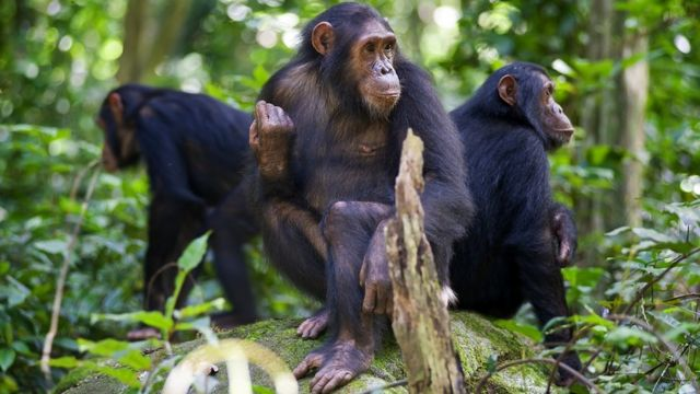 Three chimpanzees sitting on a rock, each looking in a different direction. Wildlife picture taken at Gombe, in Tanzania.