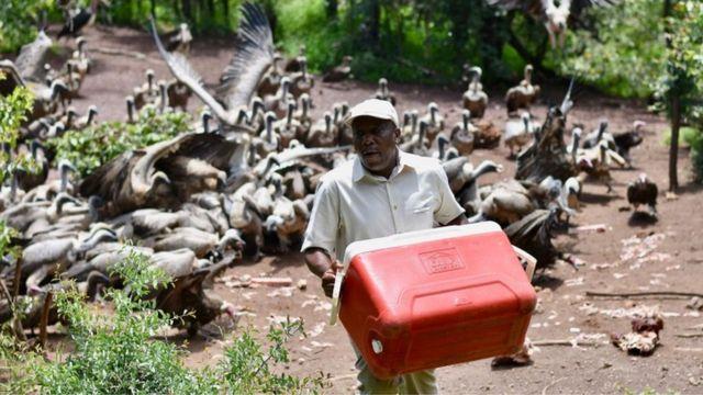"""野生动物监督员加里拉(Moses Garira)负责为秃鹫上""""午饭"""",他把自己看作秃鹫的爸爸。"""