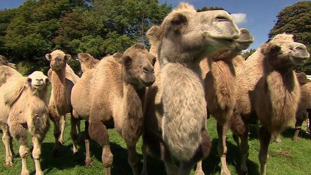 Camels are up for sale at Rosuick Farm