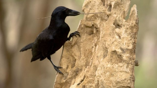 Crows' tool time captured on camera