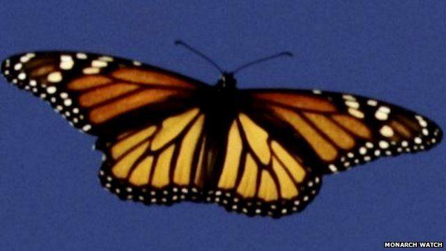 Monarch butterfly (c) Monarch Watch