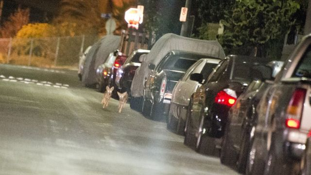 Crías de coyote paseando