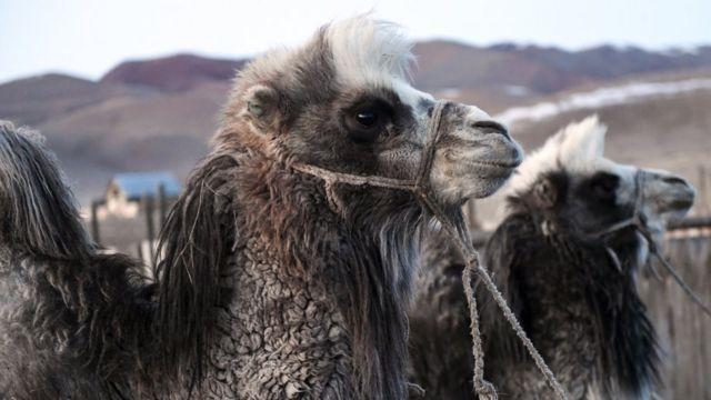 Верблюды в России