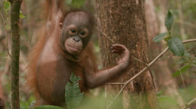 Orang-utans are a endangered species.