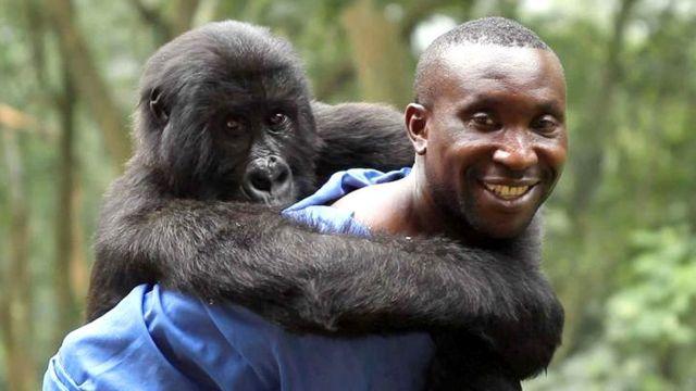 Ndakasi, la gorila que murió en brazos del cuidador que la rescató hace 14 años - BBC News Mundo