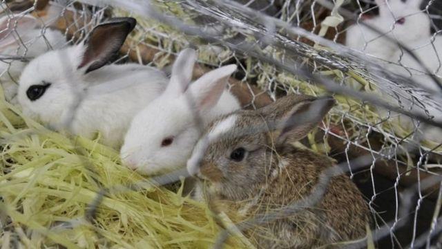 ทางการเวเนซุเอลาแนะให้ประชาชนมองกระต่ายจากมุมมองทางเศรษฐกิจ แทนที่จะมองว่าเป็นสัตว์เลี้ยงที่น่ารักก็ให้มองว่าเป็นแหล่งโปรตีนทางเลือกแทน