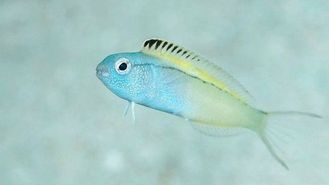 Fang blenny (c) Richard Smith/OceanRealmImages.com