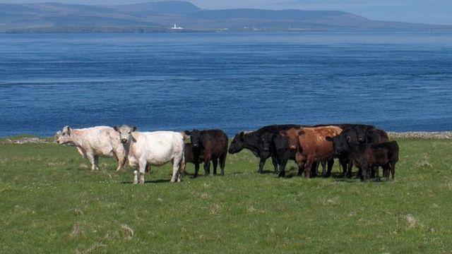 Одичавшие коровы с острова Свона