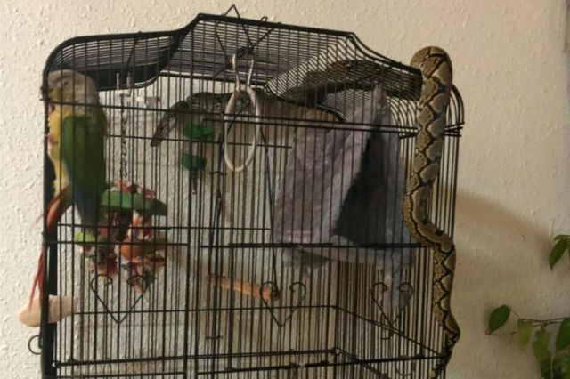 Picture of python wrapped around a bird cage in Singapore