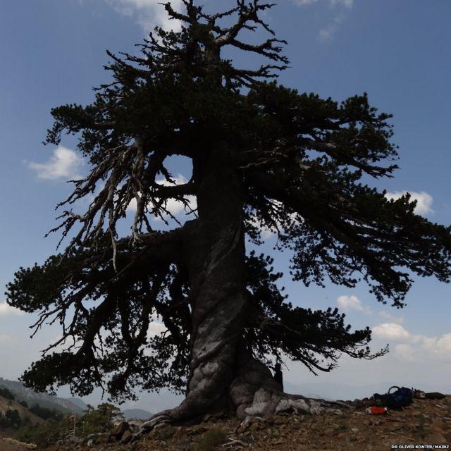 Pino bosnio (Pinus heldreichii) de más de 1.000 años