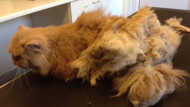 Ipswich abandoned Persian cat so matted he could only waddle