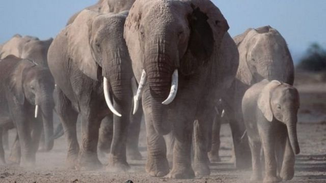 আফ্রিকার হাতির সংখ্যা নাটকীয় ভাবে কমে যাচ্ছে