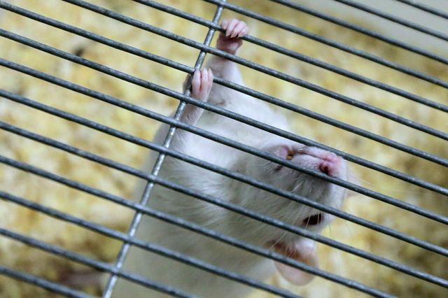 Лабораторная мышь в клетке