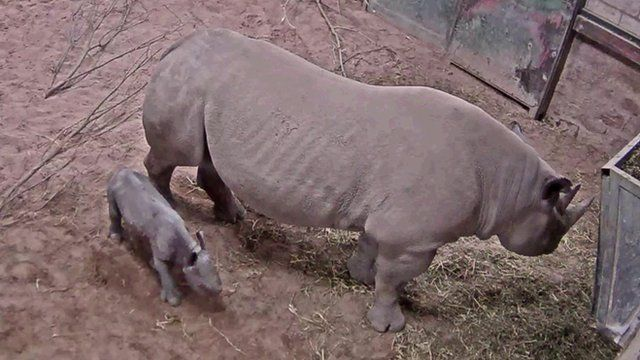 Rare baby rhino and mother