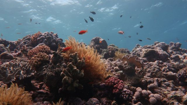 Fish swim around a dying coral structure