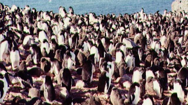 Пингвины в Антарктиде (1995 год)