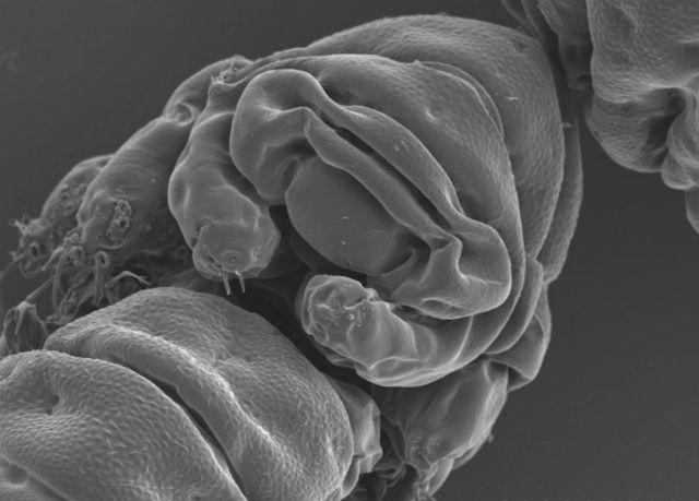 espécie Ramazzottius varieornatus vista de frente
