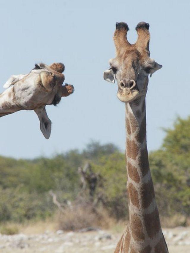 Dos jirafas en Nambia