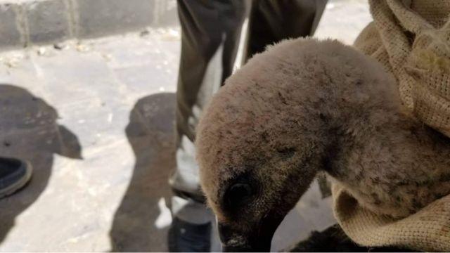 A Bulgarian vulture's odyssey into Yemeni war zone