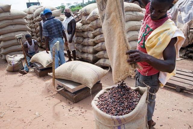 Agricultores de cacao.