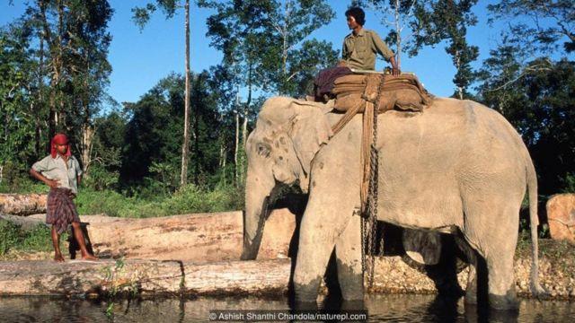 हाथी बहुत अधिक बोझ उठा सकते हैं