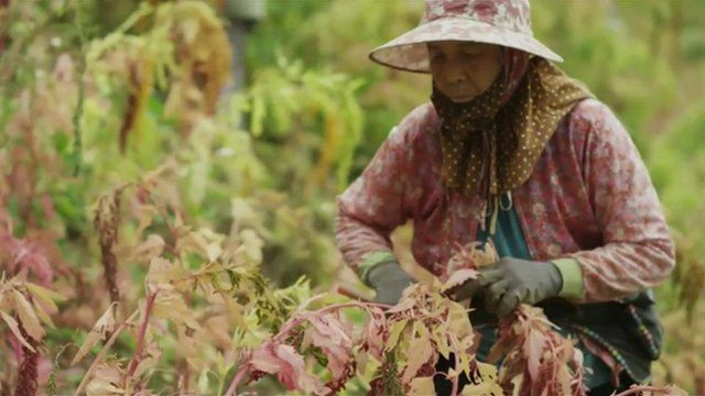 Woman harvesting quinoa