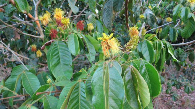 Árbol del género inga