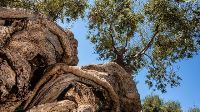 Viejo olivar