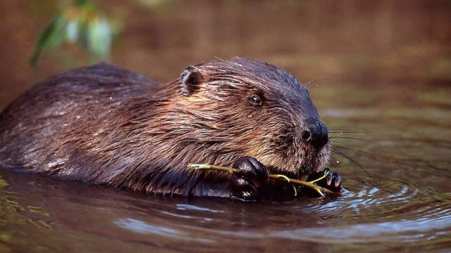 'Urgent' call for Scots beavers to be recognised as native species