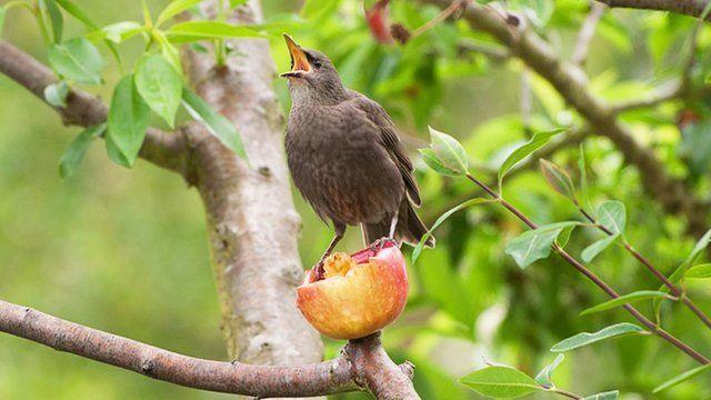 Estornino comiendo una fruta.