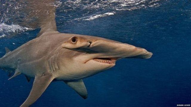 Çekiçbaşlı köpekbalıkları