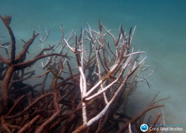 Can 'super coral' save the Great Barrier Reef?