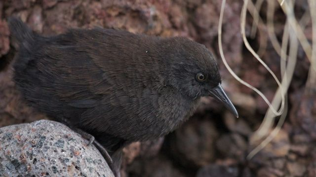 Close up of an Inaccessible Island rail