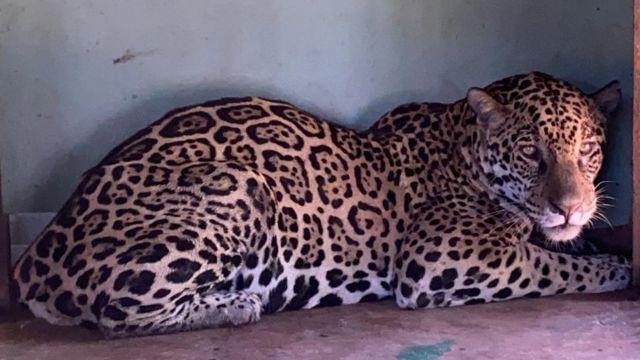 Onça-pintada resgatada de incêndio no Pantanal sentada