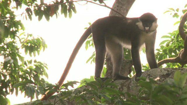 Monkey in Ugandan forest