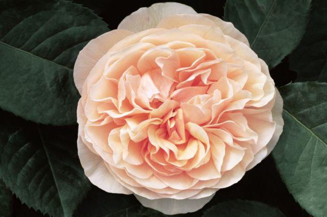 Rosa de Julieta