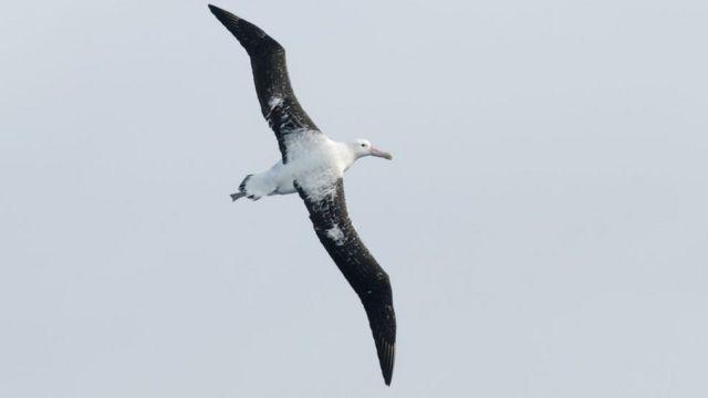 Тристанский альбатрос