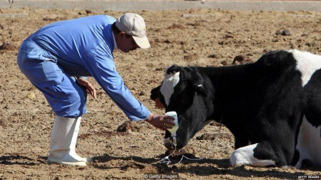गायीवर उपचार करताना डॉक्टर