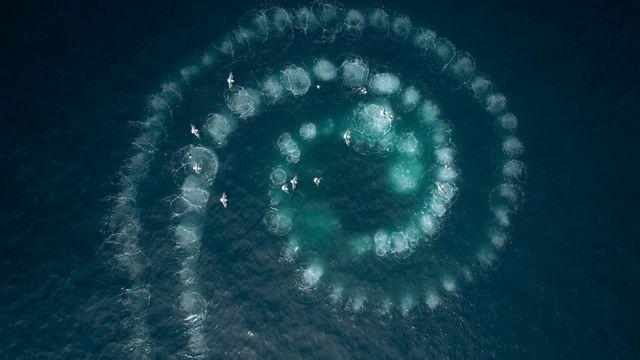 南極座頭鯨