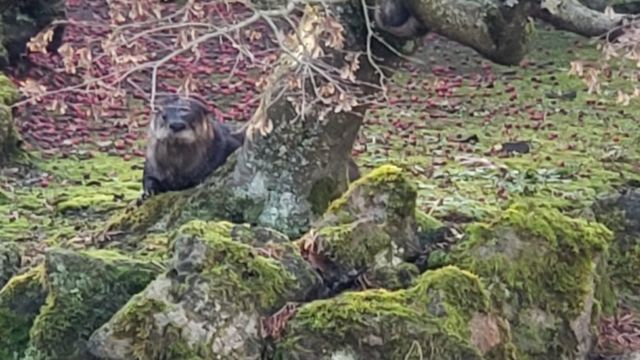 An otter on the loose is eating koi from a formal garden