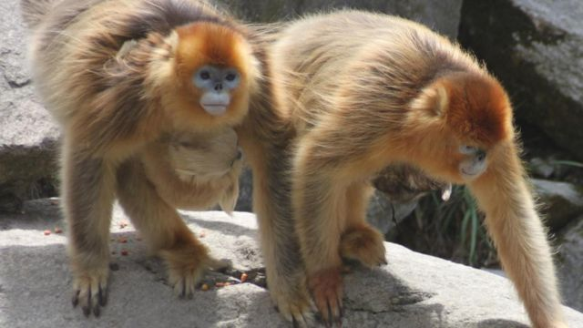 Macacos-dourados chineses